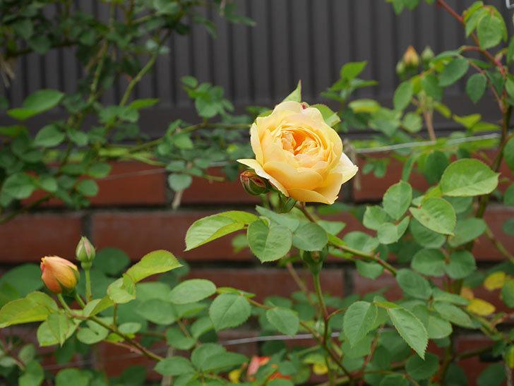 サムズ・アップ(半ツルバラ)に2個目の花が咲いた。2020年-9.jpg