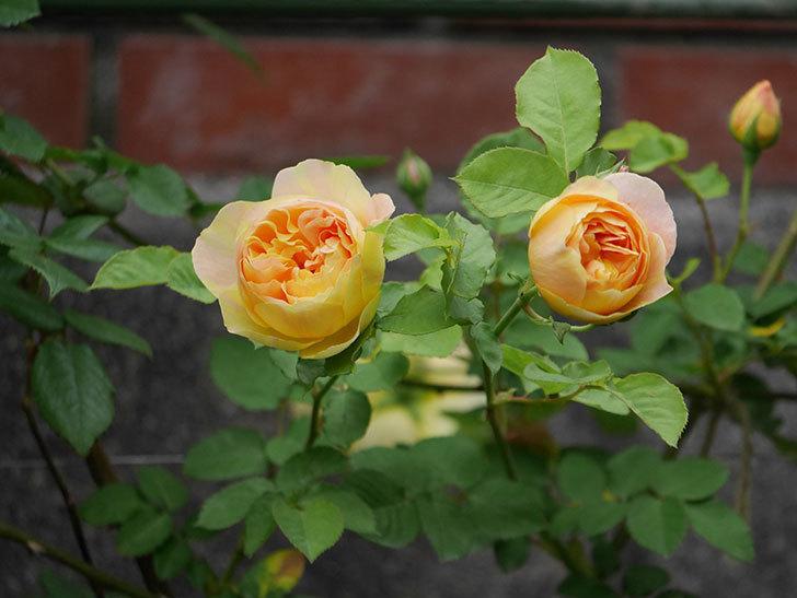サムズ・アップ(半ツルバラ)の花がたくさん咲いた。2020年-12.jpg
