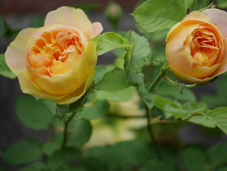サムズ・アップ(半ツルバラ)の花がたくさん咲いた。2020年-14.jpg