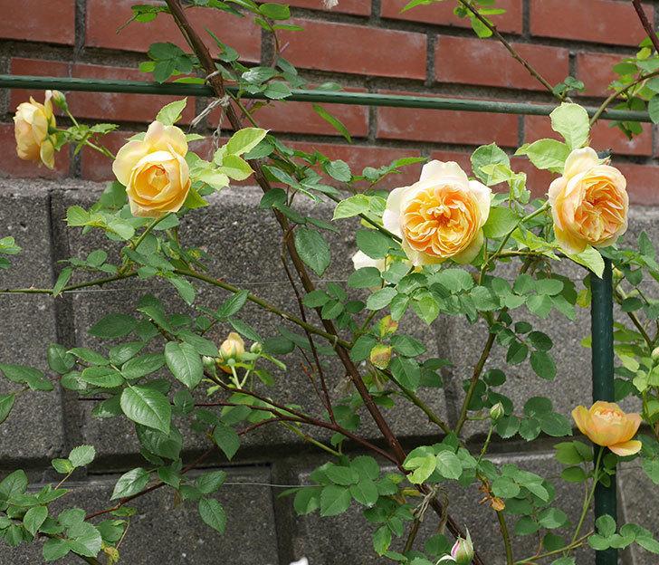 サムズ・アップ(半ツルバラ)の花がたくさん咲いた。2020年-2.jpg