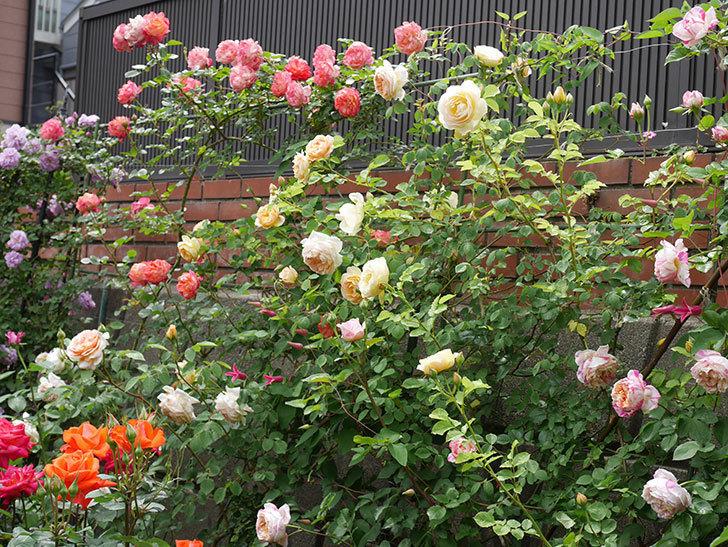 サムズ・アップ(半ツルバラ)の花がたくさん咲いた。2020年-5.jpg