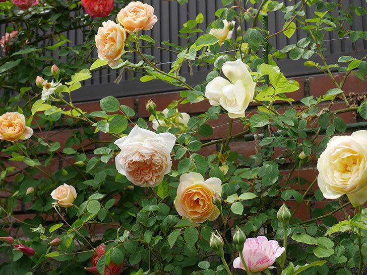 サムズ・アップ(半ツルバラ)の花がたくさん咲いた。2020年-6.jpg