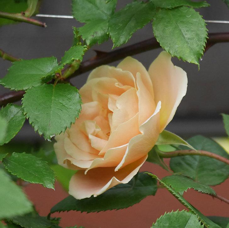 サムズ・アップ(半ツルバラ)の花が咲いた。2020年-1.jpg