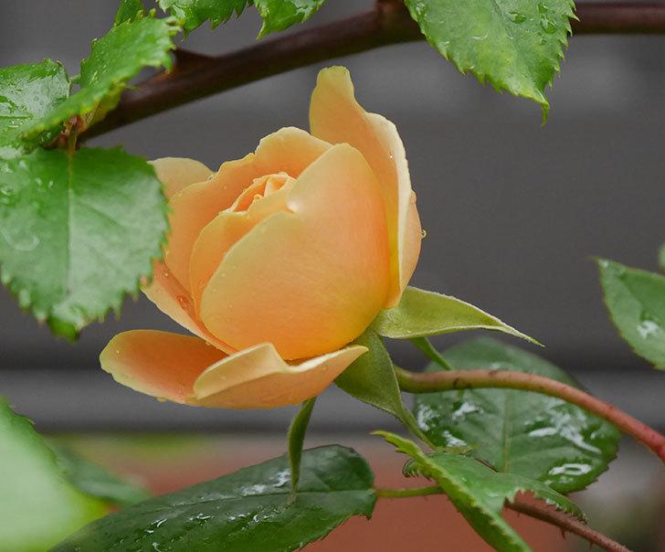 サムズ・アップ(半ツルバラ)の花が少し咲いた。2020年-1.jpg