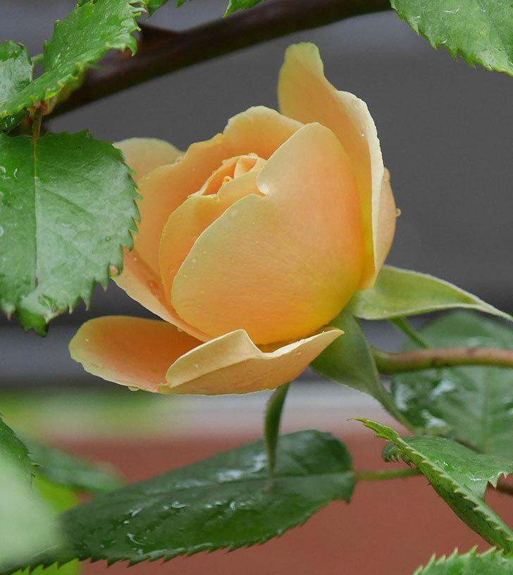 サムズ・アップ(半ツルバラ)の花が少し咲いた。2020年-2.jpg