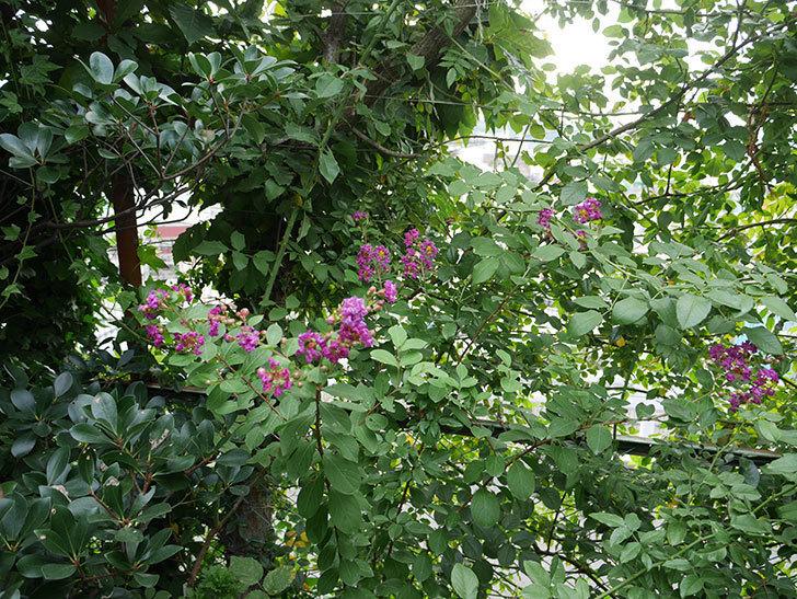 サルスベリ-ペチートプラムの花が咲いた。2017年-5.jpg