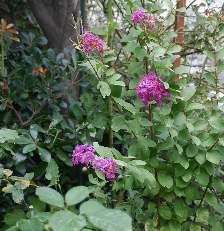 サルスベリ-ペチートプラムの花が咲いた。2019年-3.jpg