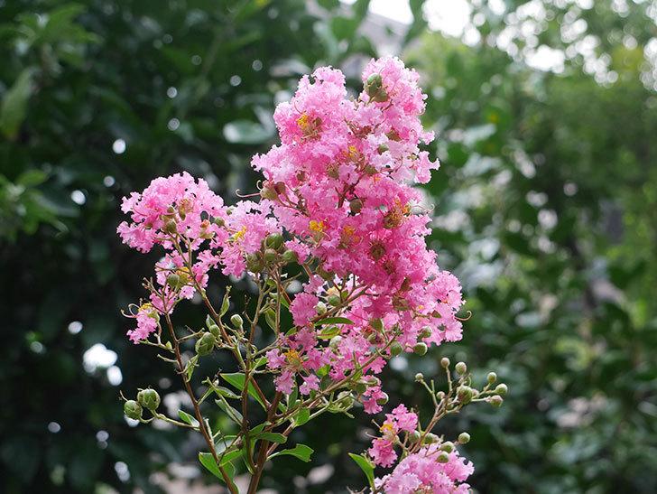 サルスベリ-ペチートプラムの花が咲いた。2019年-5.jpg
