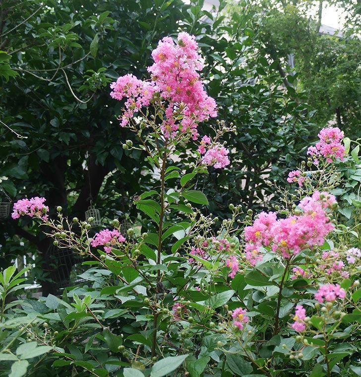 サルスベリ-ペチートプラムの花が咲いた。2019年-6.jpg