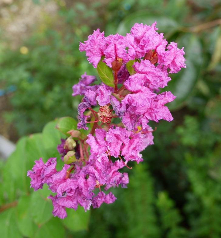 サルスベリ-ペチートプラムの花が更に咲いた。2016年-1.jpg