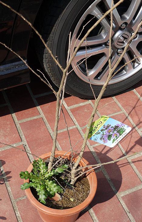 サルスベリ-ペチートプラムの苗を買って来た。2016年-1.jpg