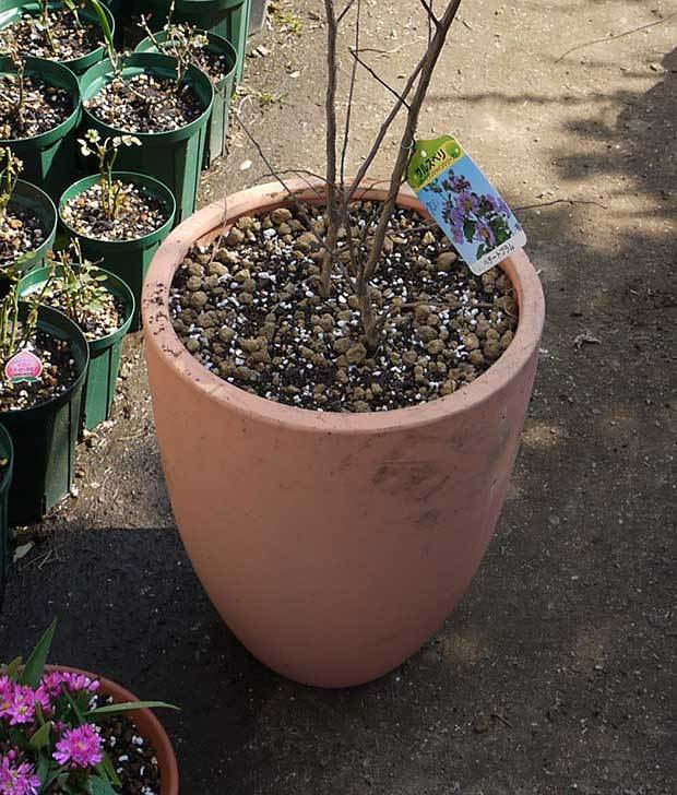 サルスベリ-ペチートプラムの苗を買って来た。2016年-12.jpg