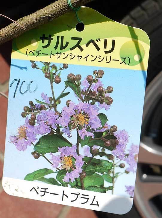 サルスベリ-ペチートプラムの苗を買って来た。2016年-3.jpg