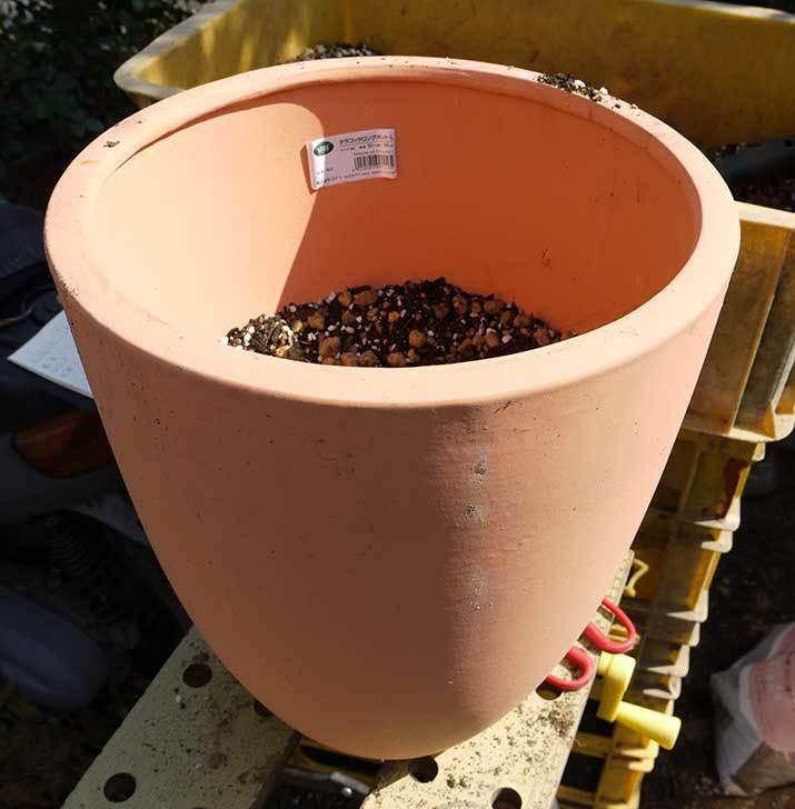 サルスベリ-ペチートプラムの苗を買って来た。2016年-7.jpg