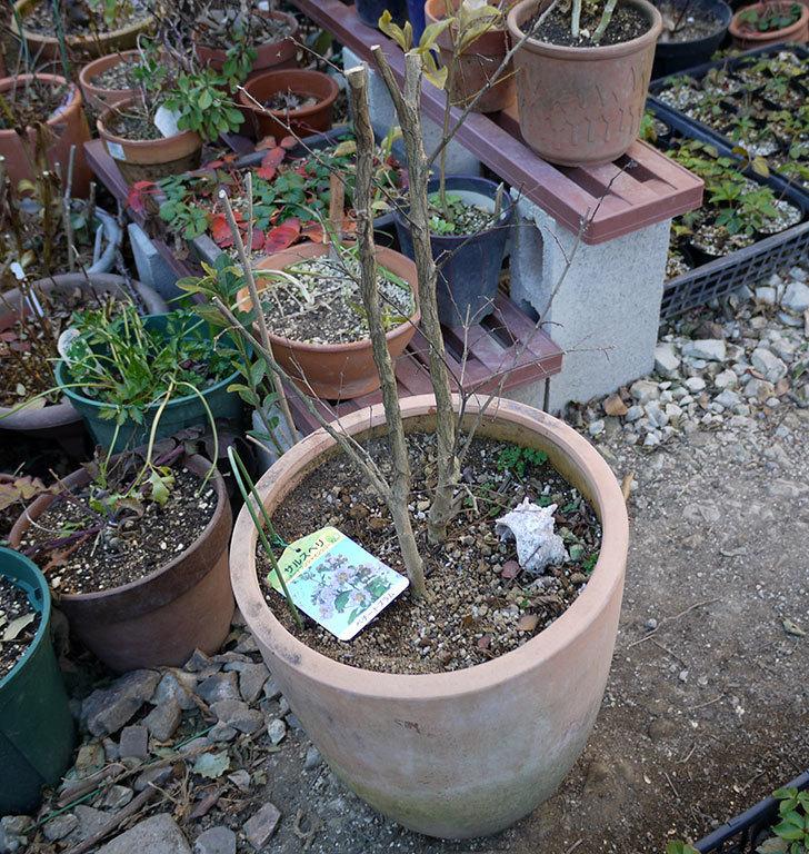 サルスベリ-ペチートプラムの鉢を地植えにした。2017年-3.jpg