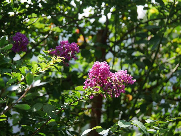 サルスベリ ペチートプラムの花がたくさん咲いた。2020年-001.jpg