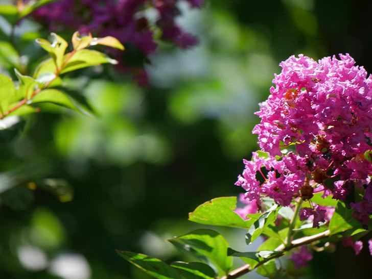 サルスベリ ペチートプラムの花がたくさん咲いた。2020年-003.jpg