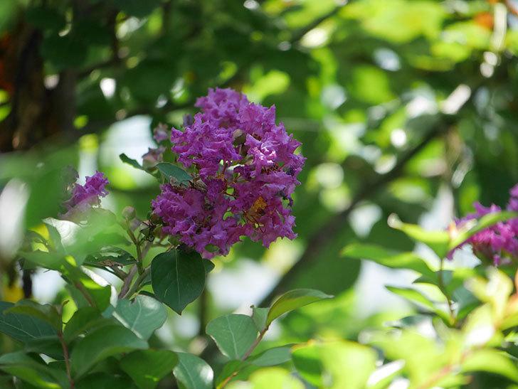 サルスベリ ペチートプラムの花がたくさん咲いた。2020年-005.jpg