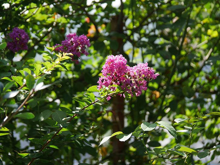 サルスベリ ペチートプラムの花がたくさん咲いた。2020年-006.jpg