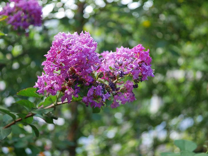 サルスベリ ペチートプラムの花がたくさん咲いた。2020年-007.jpg