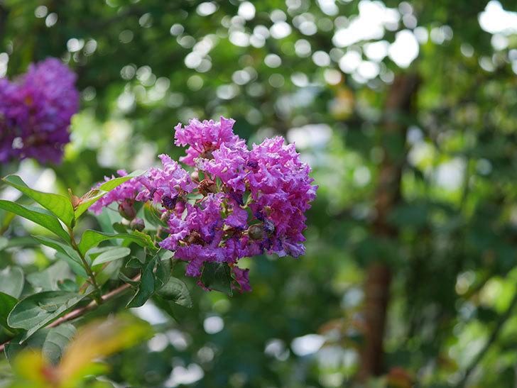 サルスベリ ペチートプラムの花がたくさん咲いた。2020年-011.jpg
