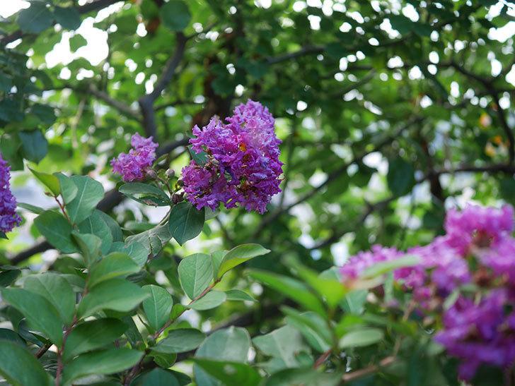 サルスベリ ペチートプラムの花がたくさん咲いた。2020年-012.jpg