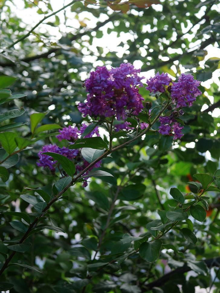 サルスベリ ペチートプラムの花がたくさん咲いた。2020年-015.jpg
