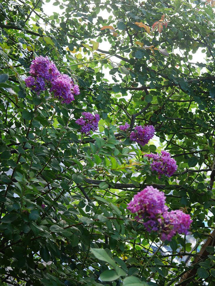 サルスベリ ペチートプラムの花がたくさん咲いた。2020年-018.jpg