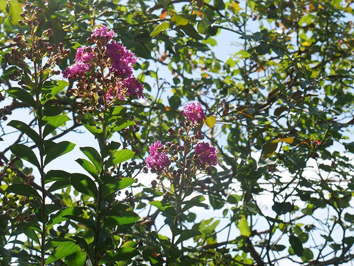 サルスベリ ペチートプラムの花が咲いた。2021年-001.jpg