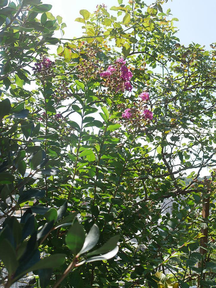 サルスベリ ペチートプラムの花が咲いた。2021年-002.jpg