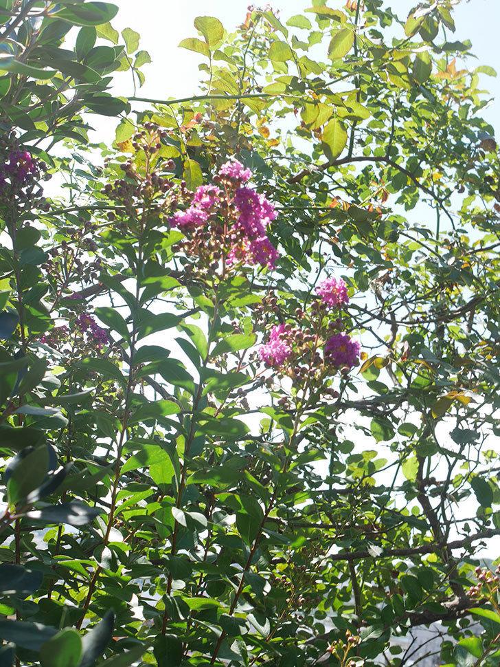 サルスベリ ペチートプラムの花が咲いた。2021年-003.jpg