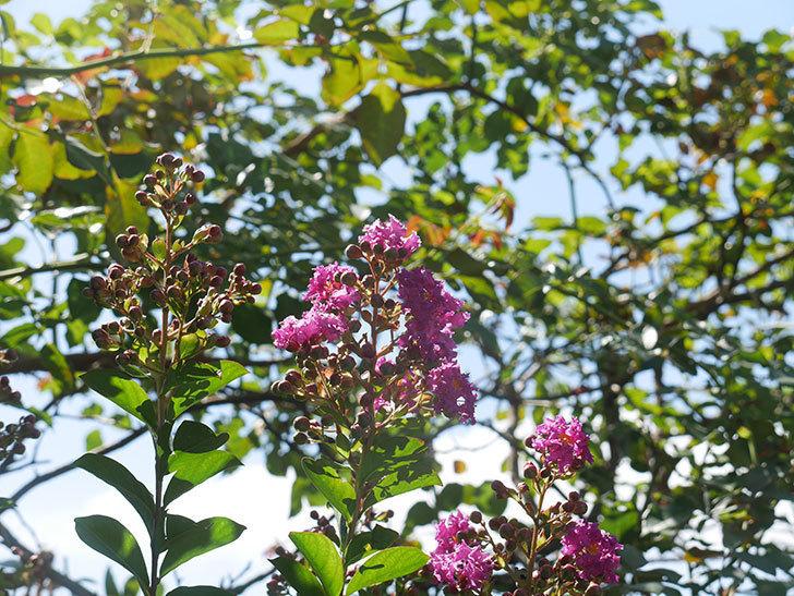 サルスベリ ペチートプラムの花が咲いた。2021年-004.jpg
