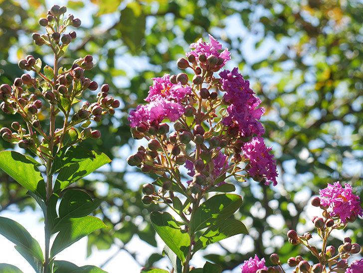 サルスベリ ペチートプラムの花が咲いた。2021年-005.jpg