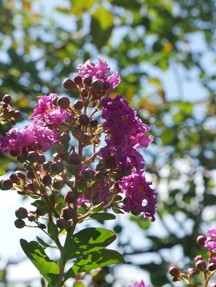 サルスベリ ペチートプラムの花が咲いた。2021年-006.jpg