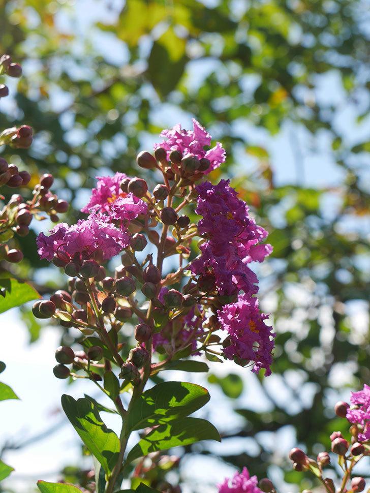 サルスベリ ペチートプラムの花が咲いた。2021年-007.jpg