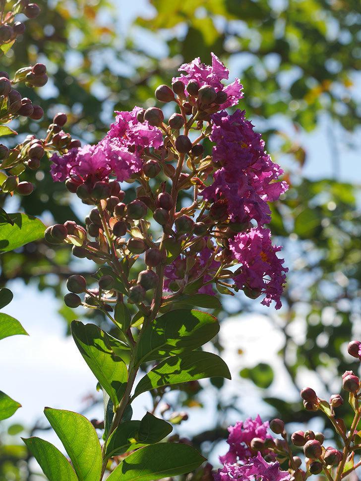 サルスベリ ペチートプラムの花が咲いた。2021年-008.jpg
