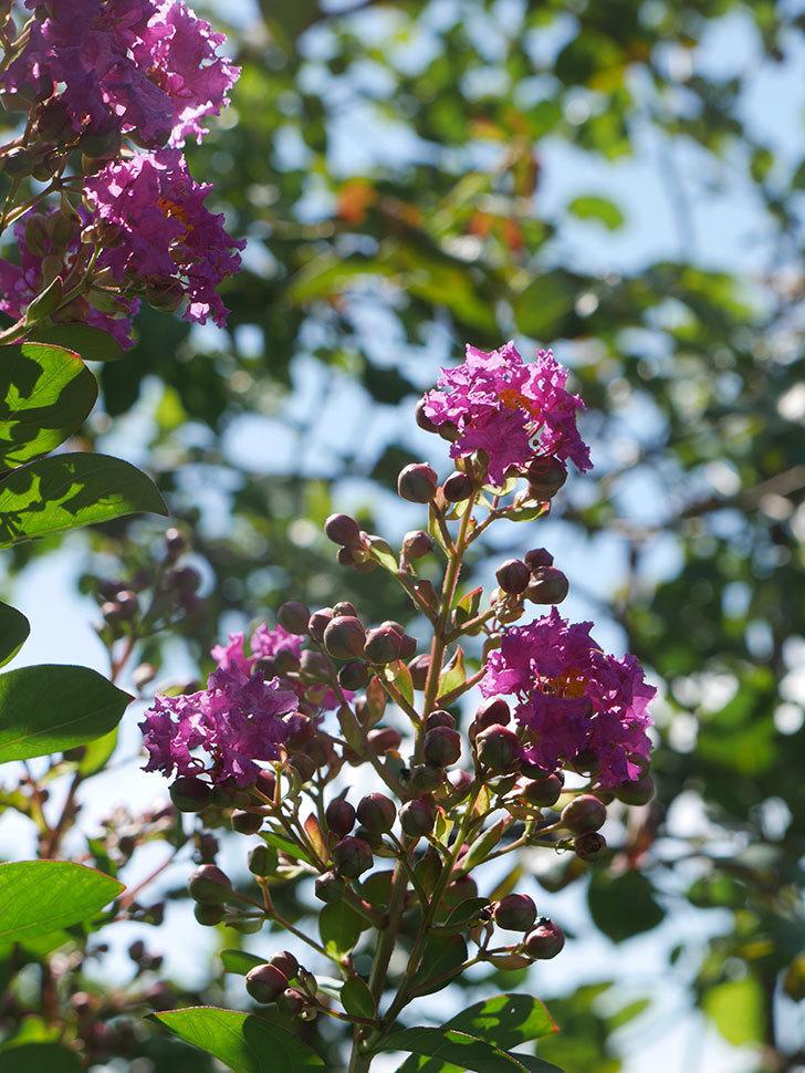 サルスベリ ペチートプラムの花が咲いた。2021年-009.jpg