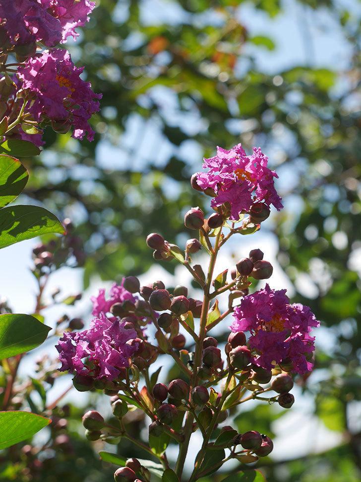 サルスベリ ペチートプラムの花が咲いた。2021年-010.jpg