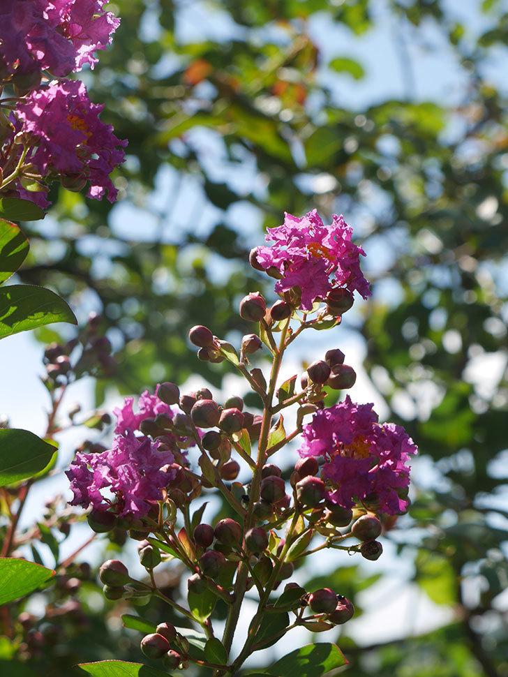 サルスベリ ペチートプラムの花が咲いた。2021年-011.jpg