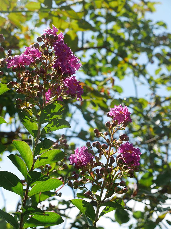 サルスベリ ペチートプラムの花が咲いた。2021年-012.jpg