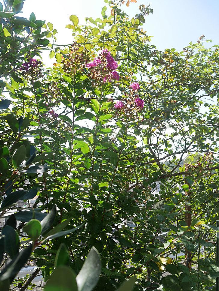 サルスベリ ペチートプラムの花が咲いた。2021年-013.jpg