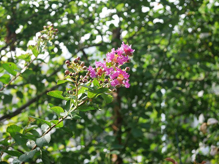 サルスベリ ペチートプラムの花が咲きだした。2020年-001.jpg