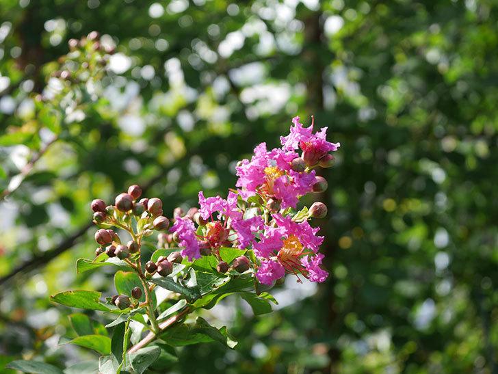 サルスベリ ペチートプラムの花が咲きだした。2020年-002.jpg
