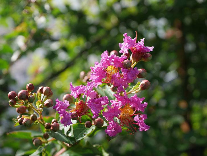 サルスベリ ペチートプラムの花が咲きだした。2020年-003.jpg