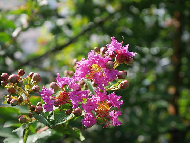 サルスベリ ペチートプラムの花が咲きだした。2020年-004.jpg