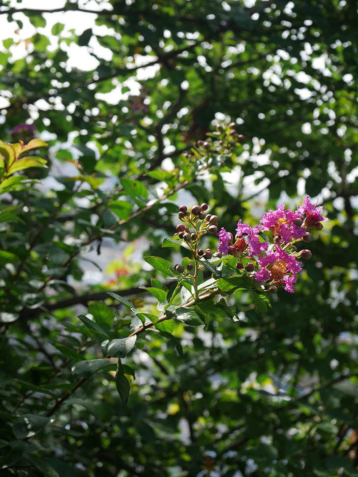 サルスベリ ペチートプラムの花が咲きだした。2020年-005.jpg