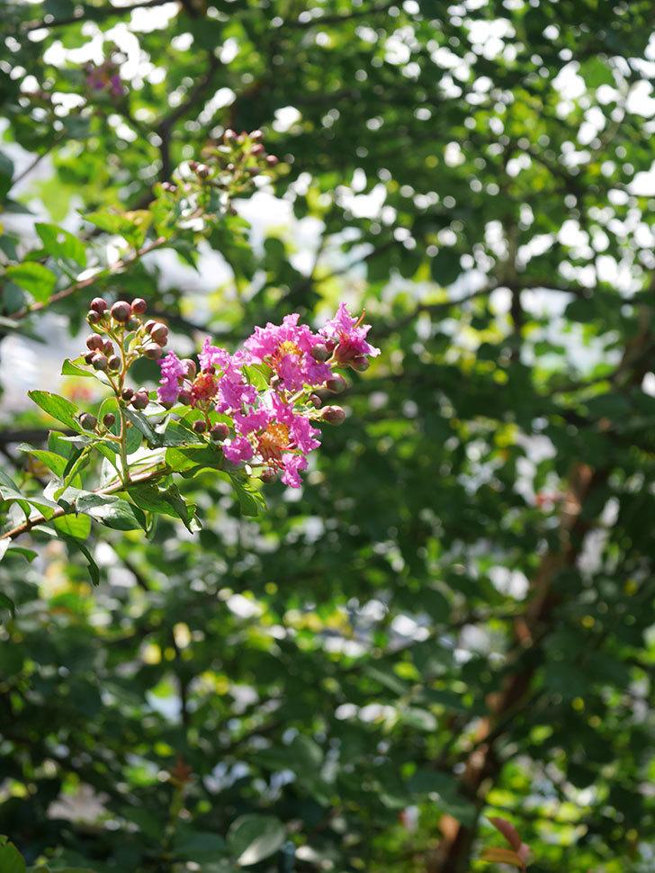 サルスベリ ペチートプラムの花が咲きだした。2020年-006.jpg
