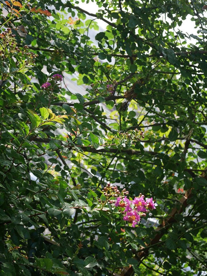 サルスベリ ペチートプラムの花が咲きだした。2020年-007.jpg