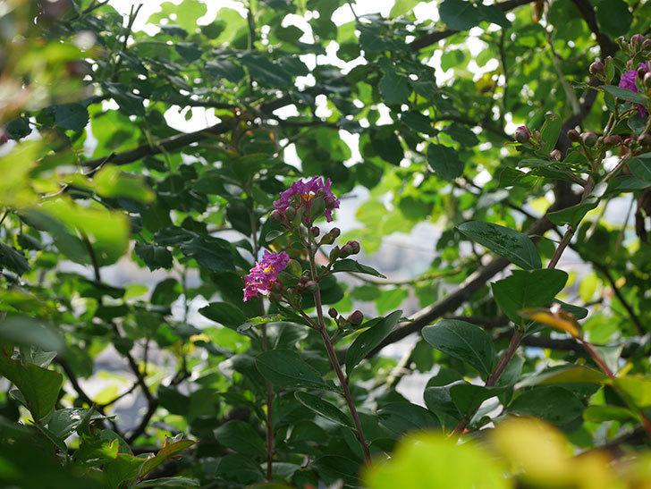 サルスベリ ペチートプラムの花が咲きだした。2020年-008.jpg