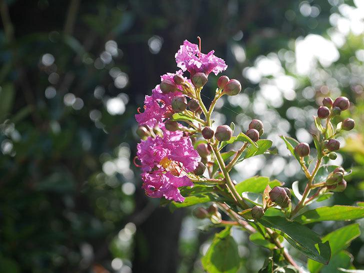 サルスベリ ペチートプラムの花が咲きだした。2020年-009.jpg